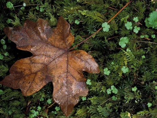 Fallen Oak Leaf-Michele Westmorland-Photographic Print