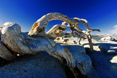 Fallen Pine Tree on Sentinel Dome-George Oze-Photographic Print