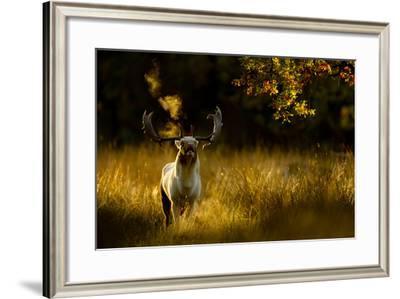 Fallow Deer (Dama Dama) Buck Bellowing At Dawn During The Rut, Cheshire, UK, October-Ben Hall-Framed Photographic Print