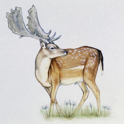 Fallow Deer (Dama Dama), Cervidae, Drawing--Giclee Print