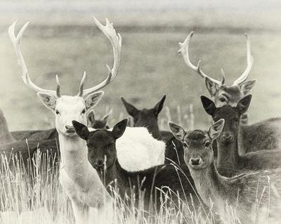 https://imgc.artprintimages.com/img/print/fallow-deer-herd_u-l-f97ju20.jpg?p=0