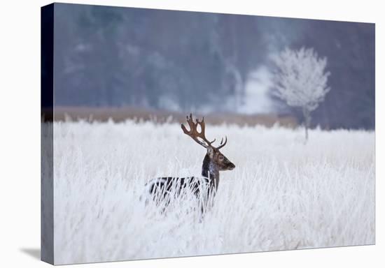 Fallow Deer In The Frozen Winter Landscape-Allan Wallberg-Stretched Canvas Print