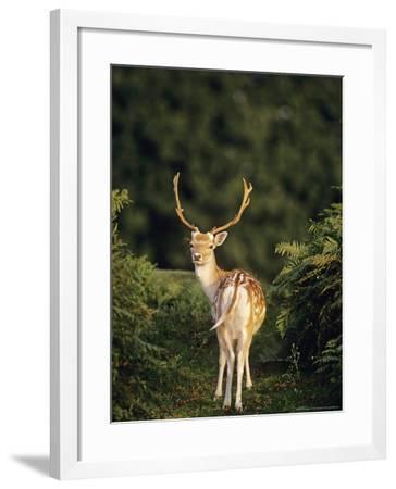 Fallow Deer, UK-David Tipling-Framed Photographic Print