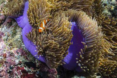 False Clown Anemonefish (Amphiprion Ocellaris)-Michael Nolan-Photographic Print