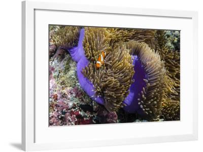 False Clown Anemonefish (Amphiprion Ocellaris)-Michael Nolan-Framed Photographic Print
