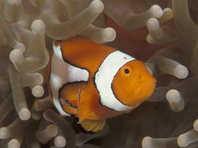 False Clown Anemonefish, in Anemone, Indo-Pacific-Jurgen Freund-Photographic Print