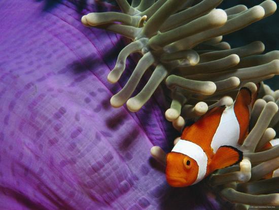 False Clown Anemonefish in Anemone Tentacles, Indo Pacific-Jurgen Freund-Photographic Print