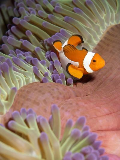 False Clown Anenomefish (Amphiprion Ocellaris) in the Tentacles of its Host Anenome-Louise Murray-Photographic Print