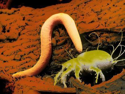 False-colour SEM of a Nematode Worm & Acarus Siro-Dr. Jeremy Burgess-Photographic Print