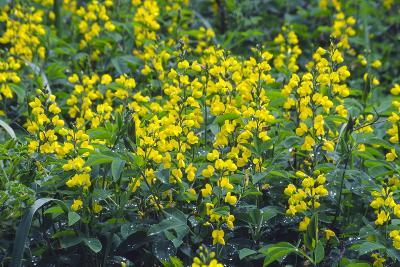 False Lupin Flowers (Thermopsis Sp.)-Dr. Nick Kurzenko-Photographic Print