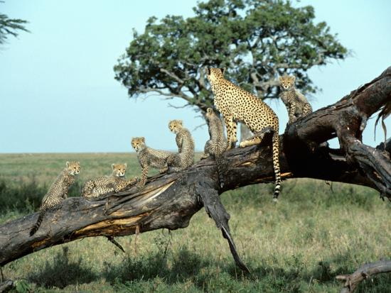Family of Cheetahs Sitting Along Trunk of Fallen Tree--Photographic Print