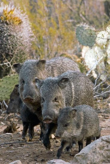 Family of Collared Peccaries-Bob Gibbons-Photographic Print