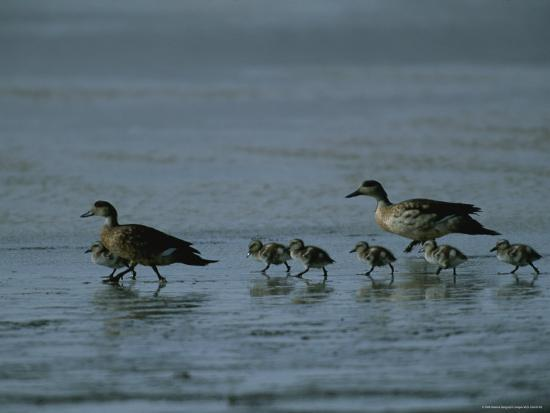Family of Ducks on a Mud Flat on the Edge of a Saline Lake-Joel Sartore-Photographic Print
