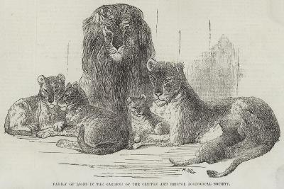 Family of Lions in the Gardens of the Clifton and Bristol Zoological Society-Harrison William Weir-Giclee Print