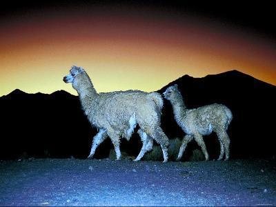 Family of Llamas Walking at Sunset--Photographic Print
