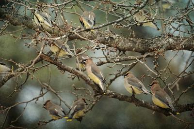 Family Reunion Cedar Wax Wings-Jai Johnson-Giclee Print