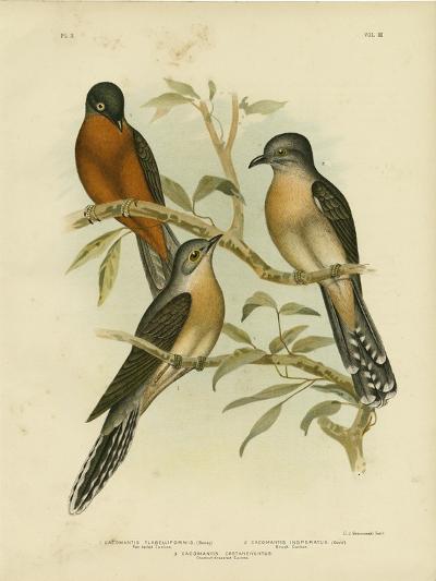 Fan-Tailed Cuckoo, 1891-Gracius Broinowski-Giclee Print