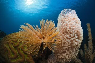 Fan Worm (Spirographis Spallanzanii), Tube Sponge, and Brain Coral on a Coral Reef-Reinhard Dirscherl-Photographic Print