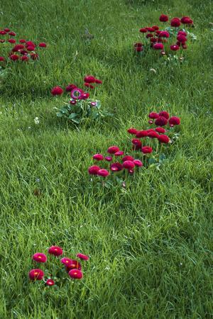 https://imgc.artprintimages.com/img/print/fancy-red-english-daisies_u-l-q12ytdd0.jpg?p=0