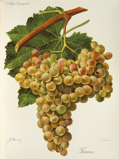 Farana Grape-J. Troncy-Giclee Print