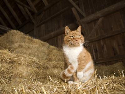 Farm Cat Sitting on a Bale of Straw, Massachusetts-Tim Laman-Photographic Print