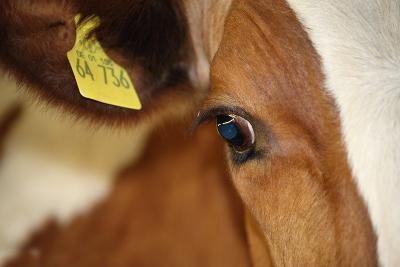 Farm, Cow, Eye, Ear Mark, Close-Up-Catharina Lux-Photographic Print