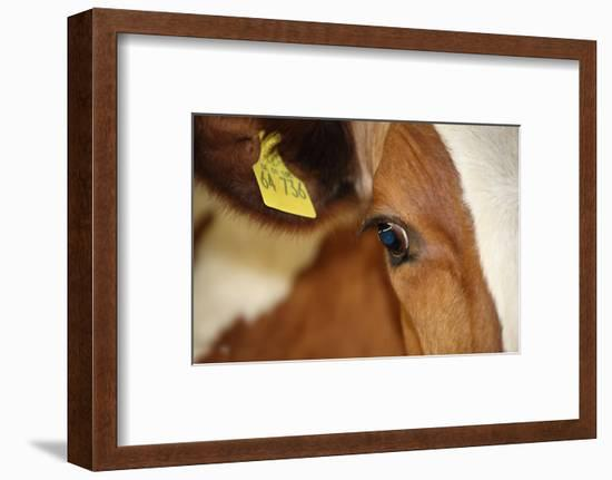 Farm, Cow, Eye, Ear Mark, Close-Up-Catharina Lux-Framed Photographic Print