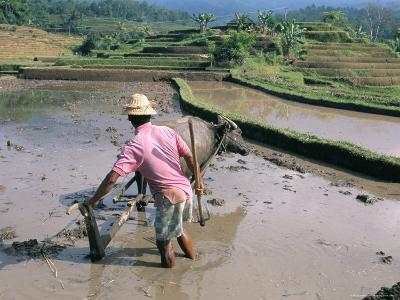 Farmer Ploughing Flooded Rice Field, Central Area, Island of Bali, Indonesia, Southeast Asia-Bruno Morandi-Photographic Print
