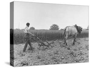 Farmer Plowing Potatoes on Farm