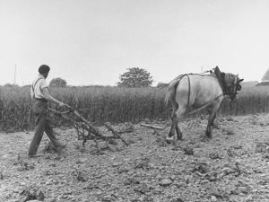 Farmer Plowing Potatoes on Farm
