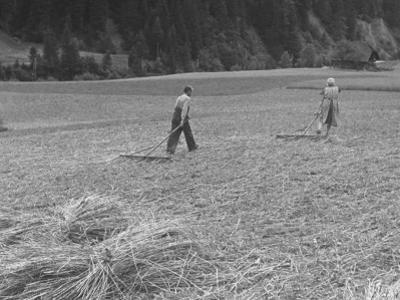 Farmer Raking His Field after Wheat Harvest