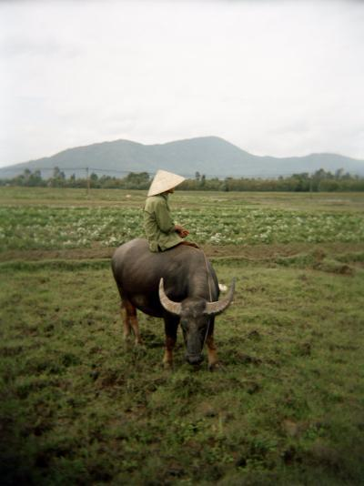 Farmer Sitting on His Water Buffalo in a Farm in Vietnam-xPacifica-Photographic Print