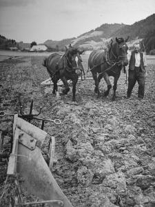 Farmer Using Two Horses and a Harrow to Plow His Field