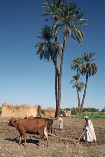 Farmer with an Ox-Drawn Plough, Dendera, Egypt-Vivienne Sharp-Photographic Print