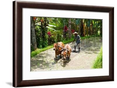 Farmer with Oxen Working in Paddy Field, Rejasa, Penebel, Bali, Indonesia--Framed Photographic Print
