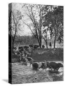 Farmers Rounding Up Bulls, Driving Them Through a Stream