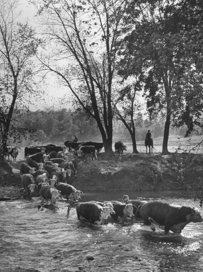 Farmers Rounding Up Bulls, Driving Them Through a Stream--Photographic Print