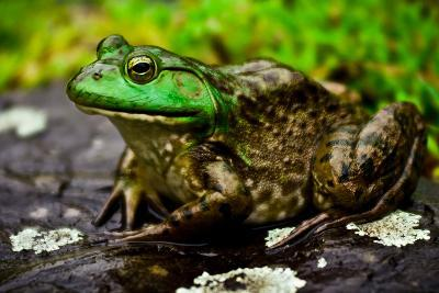 Fat Bull Frog Lords over Connecticut Water-Daniel Gambino-Photographic Print