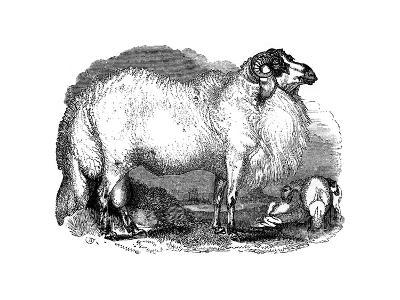 Fat-Tailed Sheep of Syria, 1848--Giclee Print