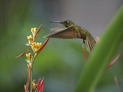 Fawn-Breasted Brilliant Hummingbird Hovering at a Flower-Tim Fitzharris-Photographic Print