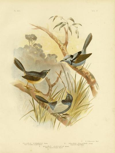 Fawn-Breasted Superb Warbler, 1891-Gracius Broinowski-Giclee Print