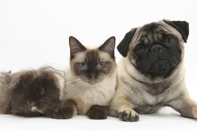 Fawn Pug, Burmese-Cross Cat and Shaggy Guinea Pig-Mark Taylor-Photographic Print