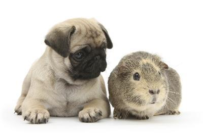 Fawn Pug Puppy, 8 Weeks, and Guinea Pig-Mark Taylor-Photographic Print