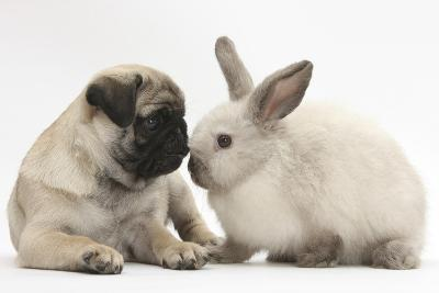 Fawn Pug Puppy, 8 Weeks, and Sooty Colourpoint Rabbit-Mark Taylor-Photographic Print