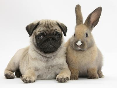 Fawn Pug Puppy, 8 Weeks, and Young Rabbit-Mark Taylor-Photographic Print