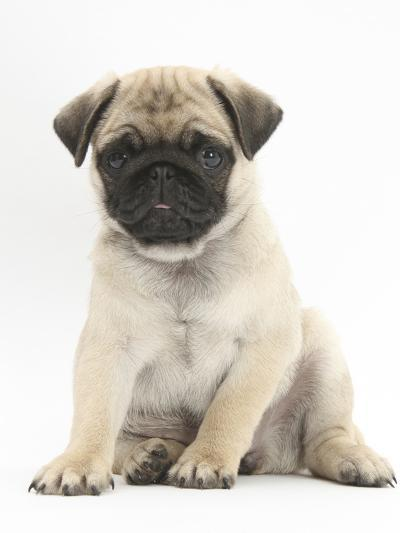 Fawn Pug Puppy, 8 Weeks, Sitting-Mark Taylor-Photographic Print