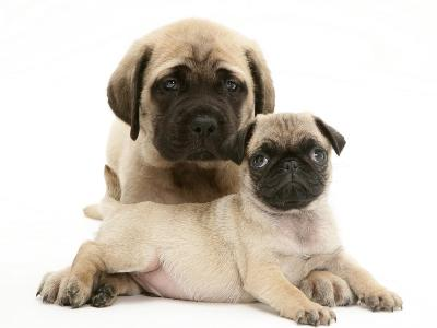 Fawn Pug Puppy with Fawn English Mastiff Puppy-Jane Burton-Premium Photographic Print