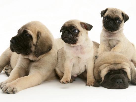 Fawn Pug Pups with Fawn English Mastiff Puppies-Jane Burton-Photographic Print