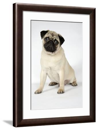 Fawn Pug--Framed Photographic Print