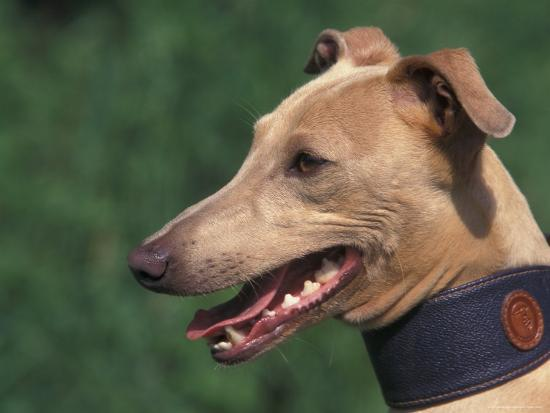 Fawn Whippet Wearing a Collar-Adriano Bacchella-Photographic Print